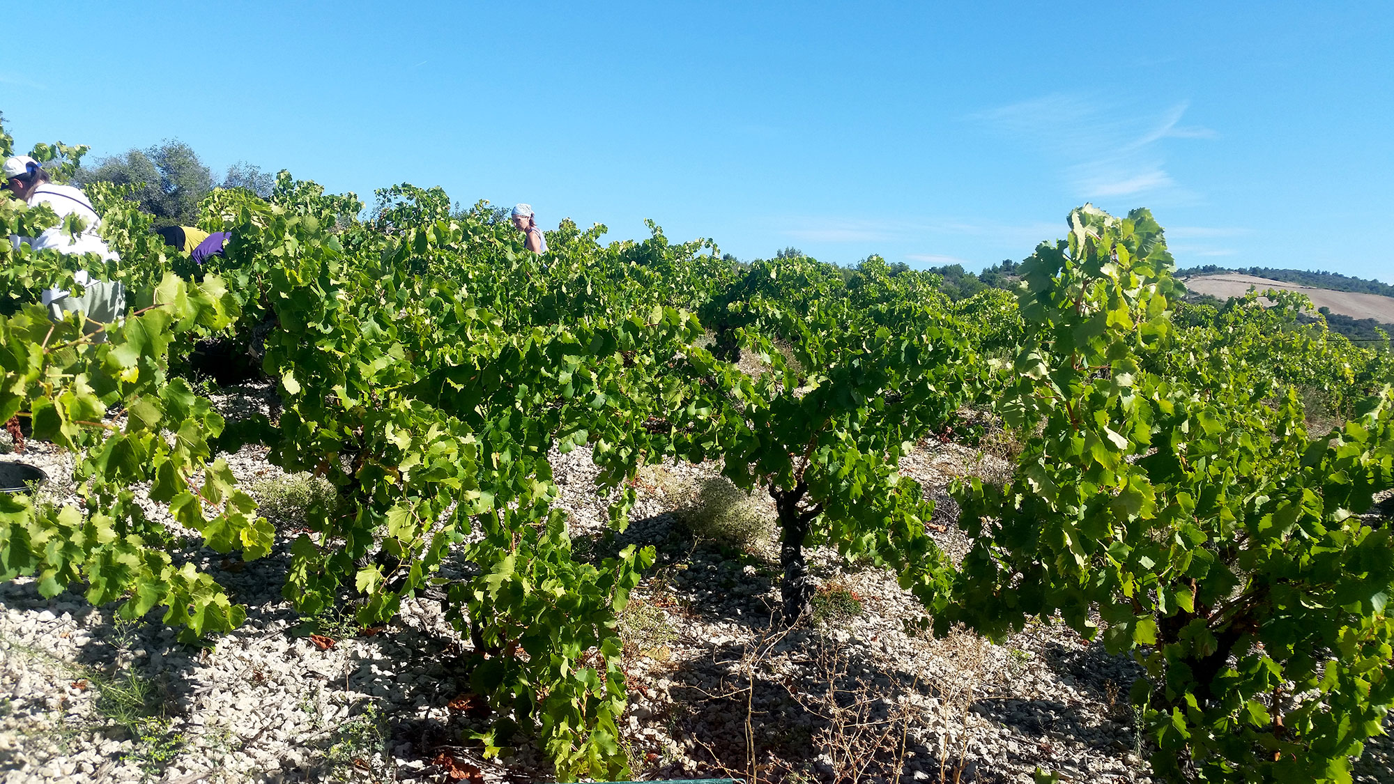 Vendanges au Combarils